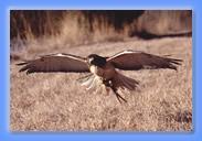 gliding hawk