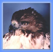 Red-tail face